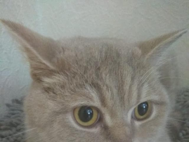 Кошка. Британская длинношерстная. Отдам в дар в Владивостоке