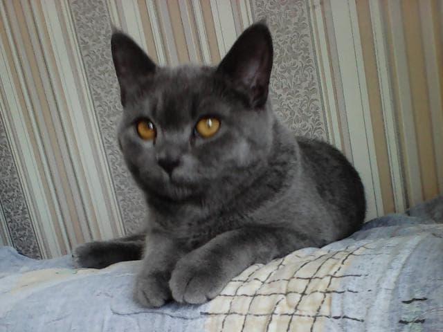 Кошка. Британская короткошерстная. Потеря/Находка в Красноярске