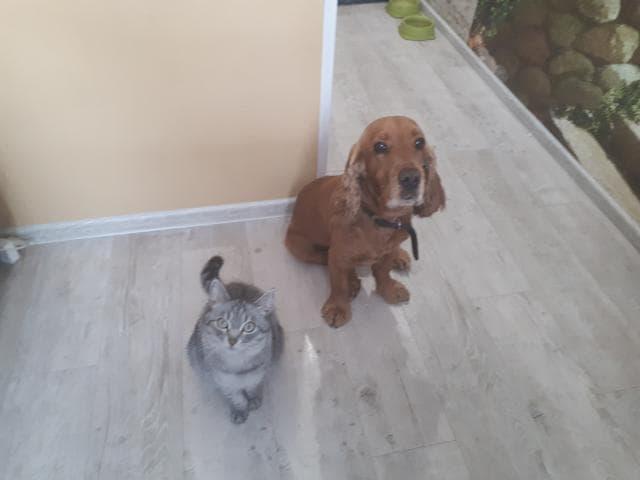 Собака. Английский кокер спаниель. Потеря/Находка в Иркутске