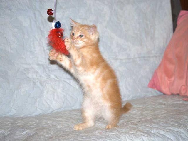 Кошка.  Беспородные и метисы . Отдам в дар в Пушкино