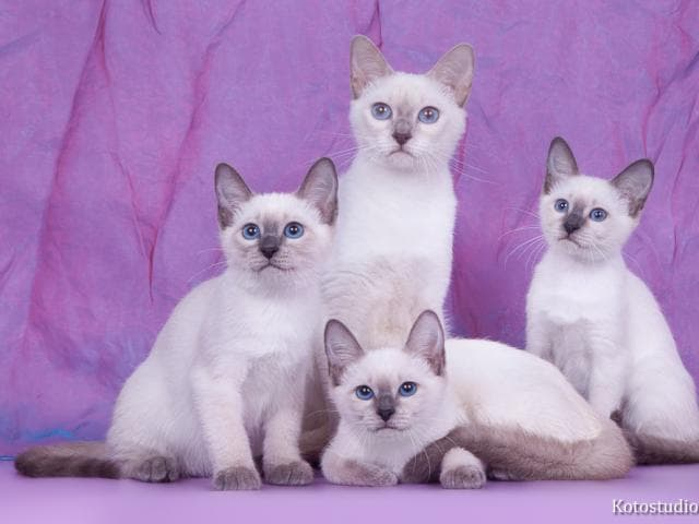 Кошка. Тайская. Продаю в Москве