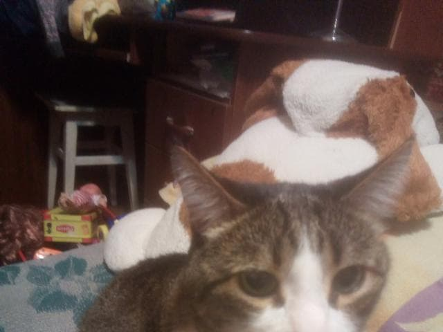 Кошка.  Беспородные и метисы . Отдам в дар в Челябинске