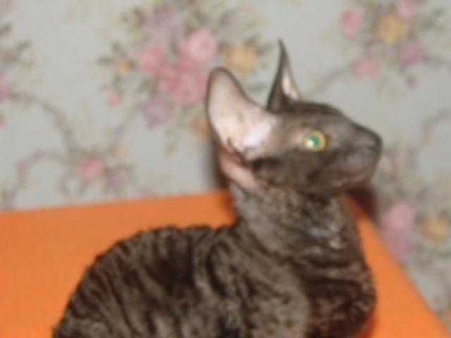 Кошка. Корниш-рекс. Продаю в Санкт-Петербурге