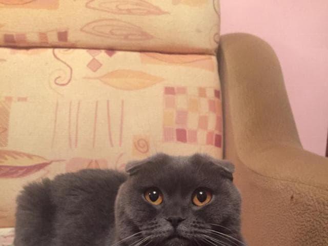 Кошка. Шотландская вислоухая (короткошерстная). Потеря/Находка в Краснодаре