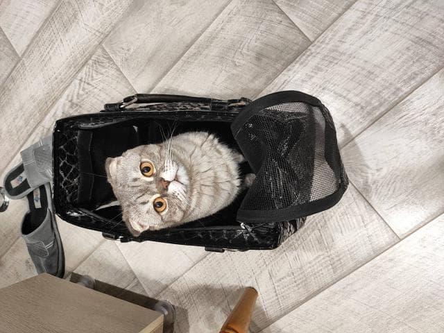 Кошка. Шотландская вислоухая (длинношерстная). Отдам в дар в Краснодаре