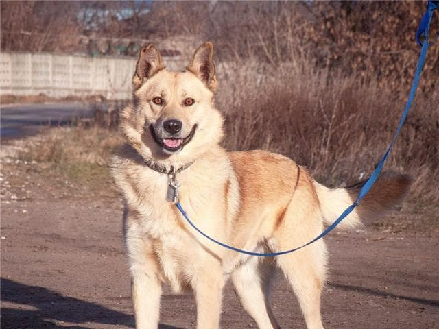 Собака. Западносибирская лайка. Отдам в дар в Москве