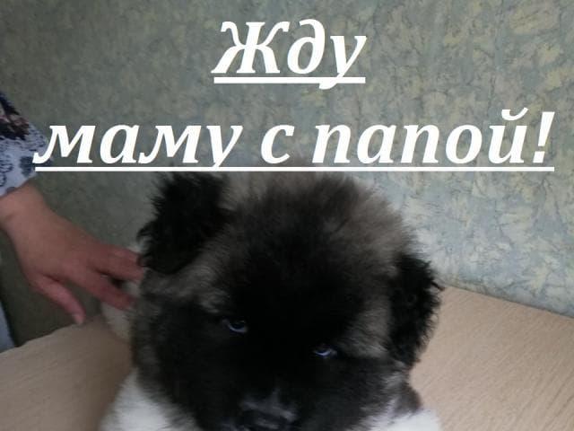 Собака. Американская акита. Продаю в Перми