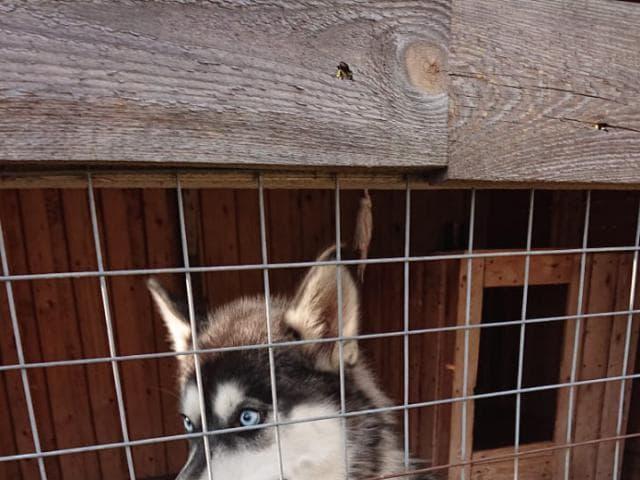 Собака. Сибирский хаски . Отдам в дар в Москве