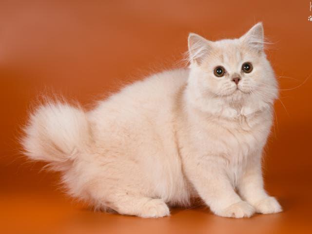 Кошка. Курильский бобтейл. Продаю в Москве
