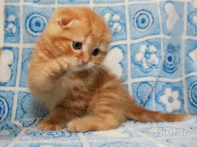 Кошка. Шотландская вислоухая (короткошерстная). Продаю в Минске