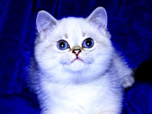 Элитные котята британской шиншиллы