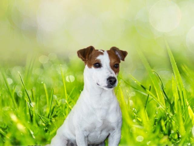 Собака. Джек Рассел терьер. Вязка в Нижнем Новгороде