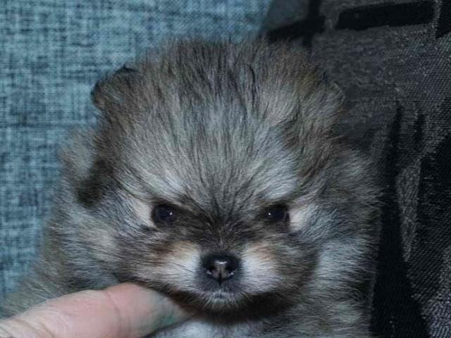 Собака. Немецкий шпиц карликовый (померанский). Продаю в Саратове