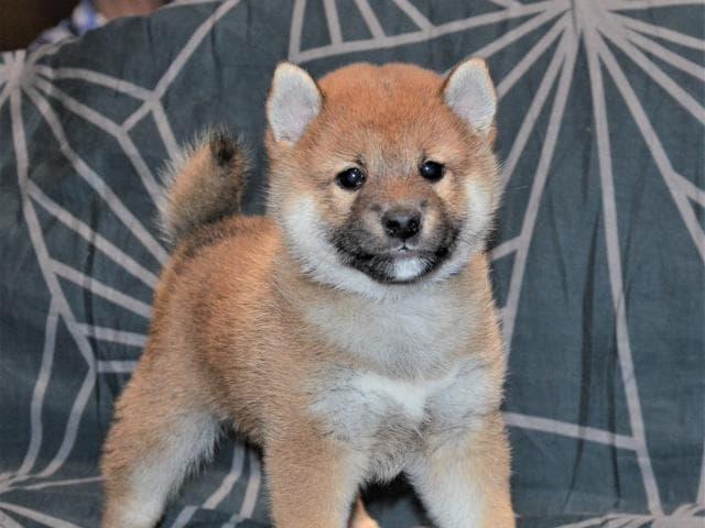 Собака. Шиба (Сиба). Продаю в Москве