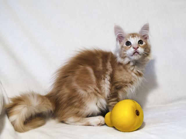 Кошка. Мэйн-кун . Продаю в Минске