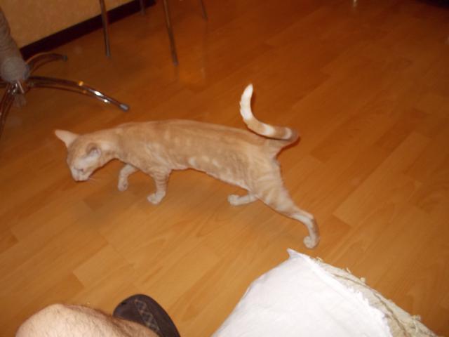 Вязка: Орентал ищет кошку