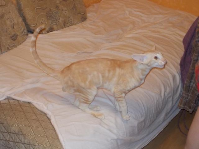 Вязка: Орентал ищет кошку фото2
