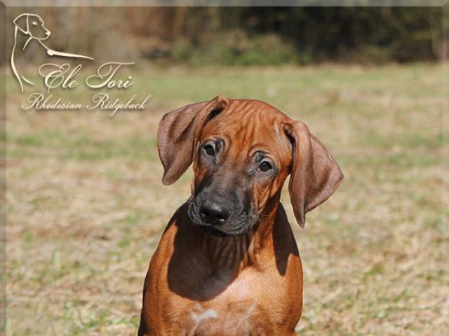 Продаю: Шикарные щенки родезийского риджбека из питомника фото2