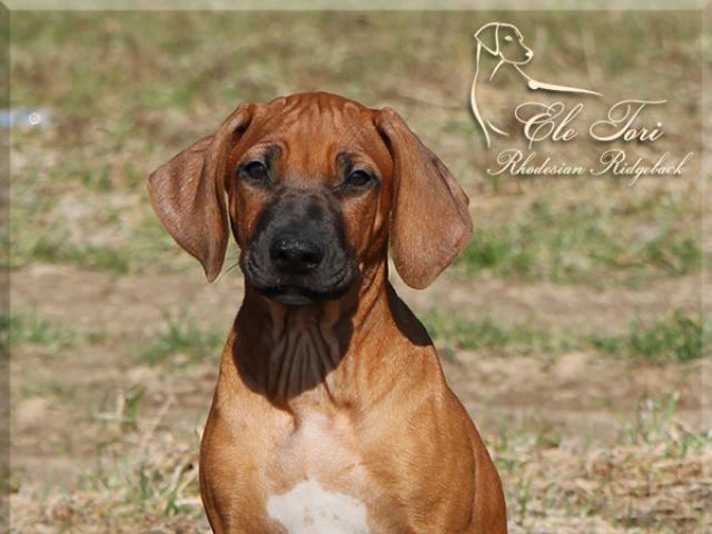 Продаю: Шикарные щенки родезийского риджбека из питомника фото3