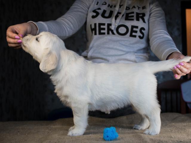 Продаю: Перспективные щенки Золотистого ретривера фото2