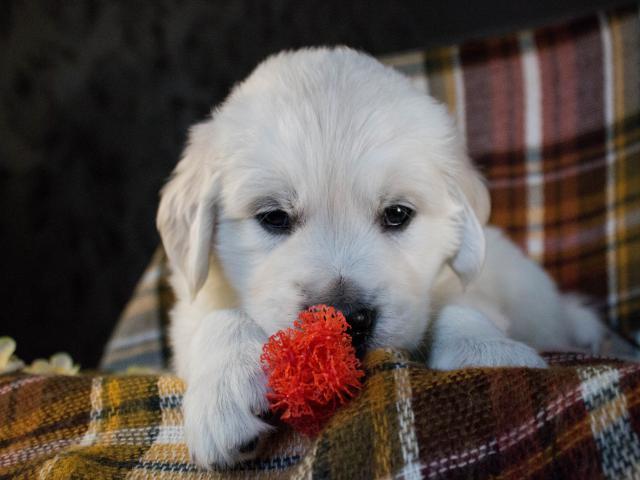 Продаю: Перспективные щенки Золотистого ретривера фото3
