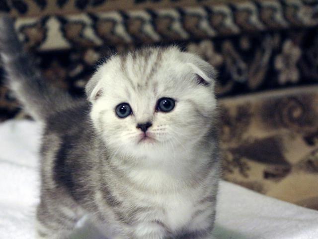 Продаю: Шотландские вислоухие котята, страйты