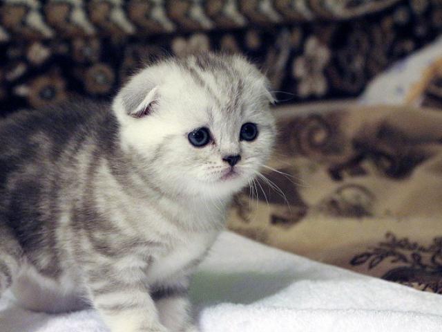 Продаю: Шотландские вислоухие котята, страйты фото2