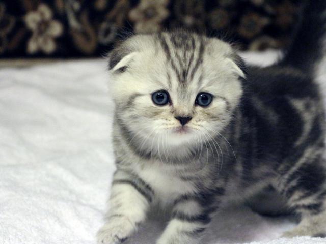 Продаю: Шотландские вислоухие котята, страйты фото3