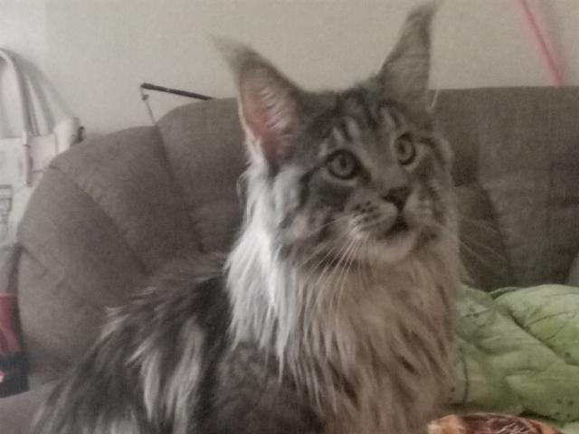 Вязка: кот Мейн-кун приглашает на вязку фото3