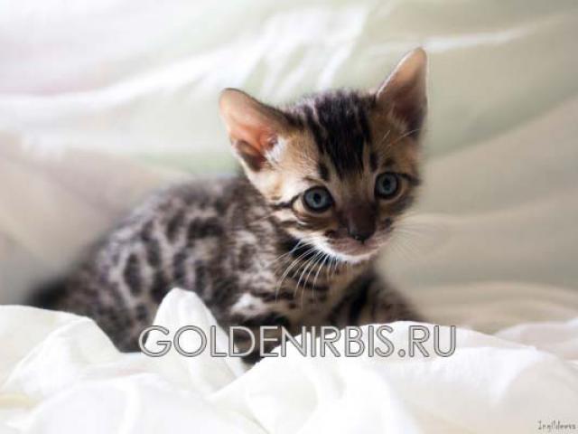 Продаю: Котята Саванна фото2