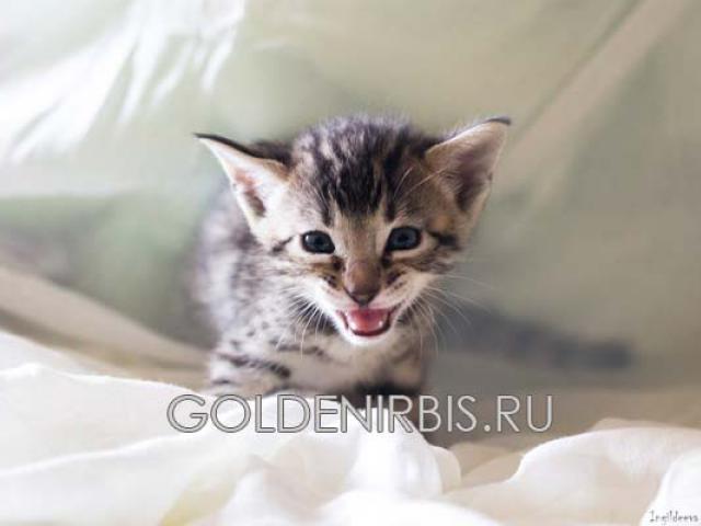 Продаю: Котята Саванна фото3