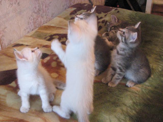 Отдам в дар: Ищем хозяев для 5 чудо-котят