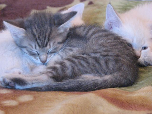 Отдам в дар: Ищем хозяев для 5 чудо-котят фото3
