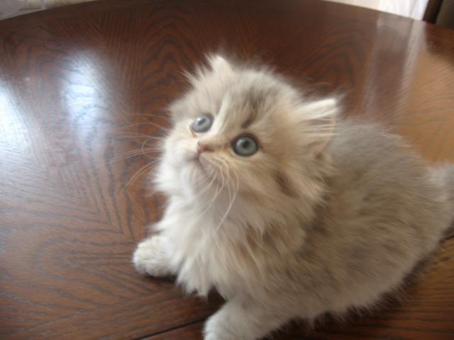 Продаю: британские котята от золотых тикированных шиншилл