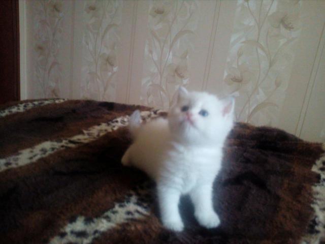Продаю: британские котята от золотых тикированных шиншилл фото2