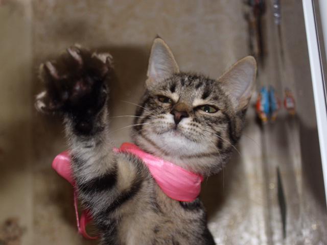 Отдам в дар: Ищет дом котенок Матильда фото2