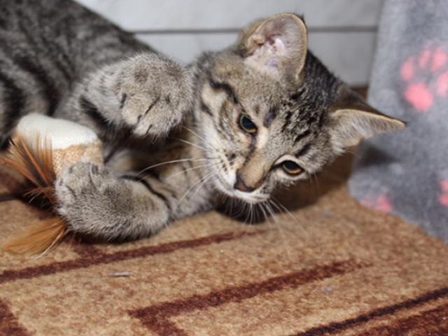 Отдам в дар: Ищет дом котенок Матильда фото3