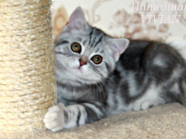 Продаю: Британский котик мрамор на серебре