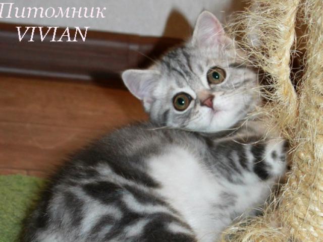 Продаю: Британский котик мрамор на серебре фото2