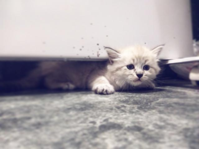 Продаю: тся невские маскарадные котята фото2