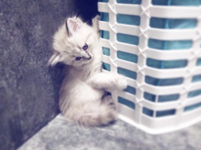 Продаю: тся невские маскарадные котята фото3