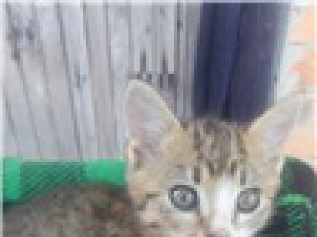 Отдам в дар: Котята от кошки-мышеловки фото2
