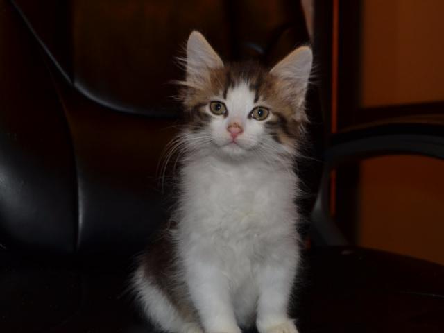 Отдам в дар: Пушистый котенок Тим ищет дом