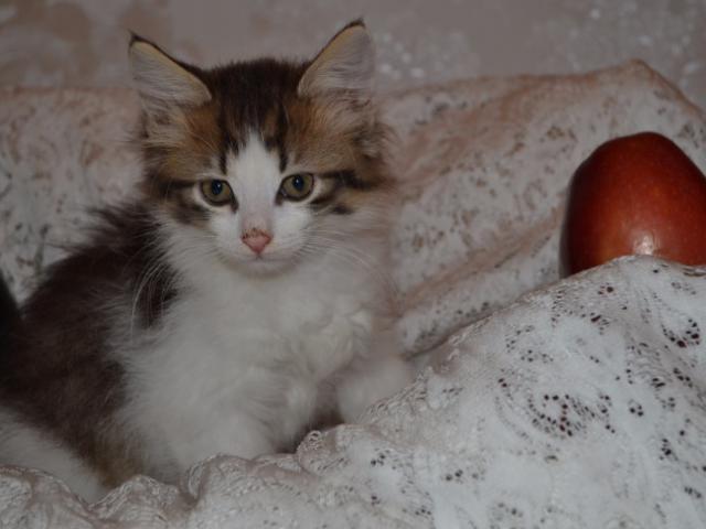Отдам в дар: Пушистый котенок Тим ищет дом фото2