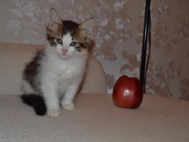 Отдам в дар: Пушистый котенок Тим ищет дом фото3