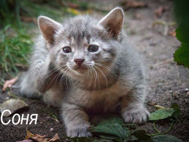 Отдам в дар: Котенок Соня в добрые руки, в дар