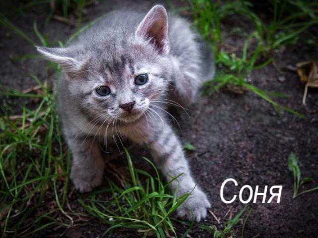 Отдам в дар: Котенок Соня в добрые руки, в дар фото2