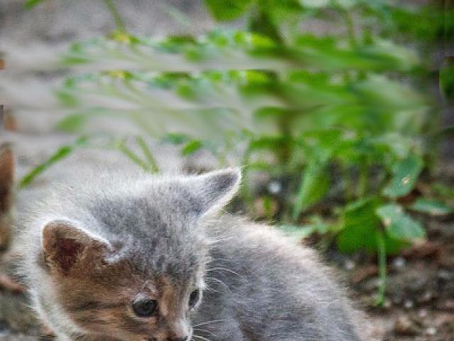 Отдам в дар: Котенок Соня в добрые руки, в дар фото3