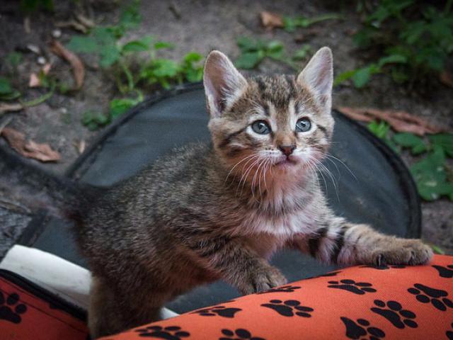 Отдам в дар: Котенок Муся в добрые руки, в дар фото2