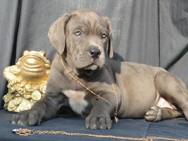 Продаю: серые щенки фото2
